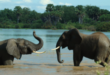 Lake Manze Elephants (6)W