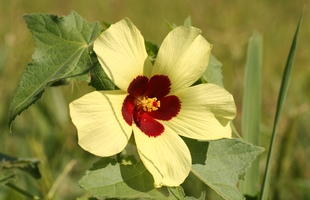 Hibiscus Species