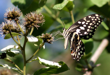 Papili O Demodocu Christam Butterfly Citrus Swallowtail